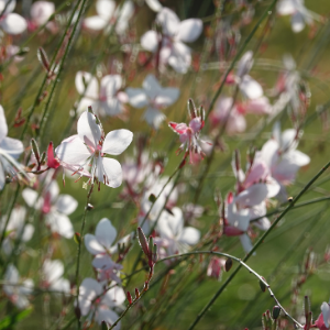 planten-met-witte-bloemen-plant4