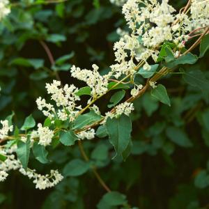 schutting-klimplanten-bruidsluier