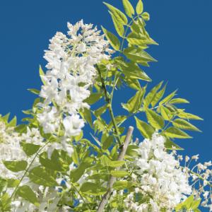 planten-met-witte-bloemen-plant1
