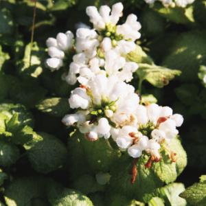 planten-met-witte-bloemen-plant6