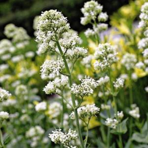 planten-met-witte-bloemen-plant3