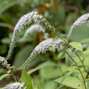 planten-met-witte-bloemen-plant5 (1)