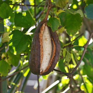 schutting-klimplanten-schijnaugurk (1)