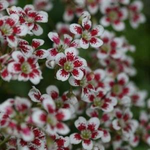voorjaarsbloeiers-plant7 (1)