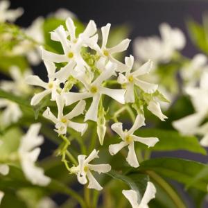 schutting-klimplanten-toscaanse-jasmijn