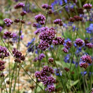 voorjaarsbloeiers-plant10