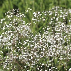 planten-met-witte-bloemen-plant2