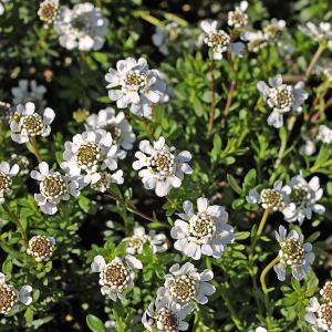 voorjaarsbloeiers-plant4