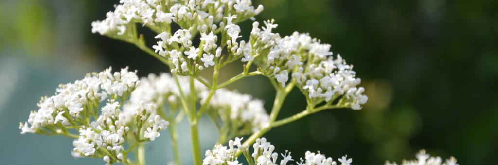 7x Planten met witte bloemen voor rust in de tuin