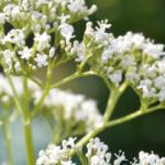 planten-met-witte-bloemen-tuinierwinkel